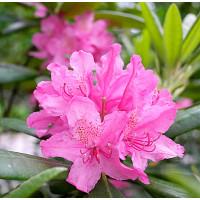 Рододендрон Гаага (розовый)
