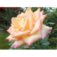 Роза Амбианс(чайно-гибридная)