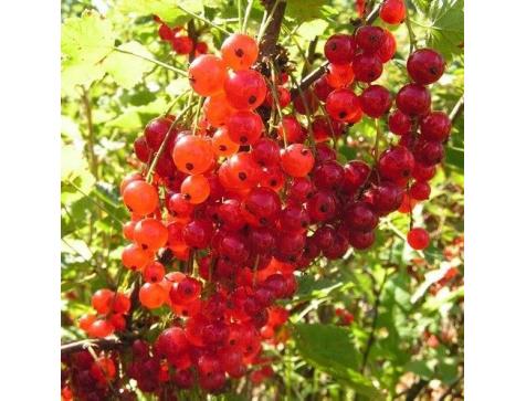 Смородина Голландская (Красная)