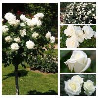 Комплект Гармония (Штамбовая роза Аннапюрна, Полиантовая роза Диадэм Уайт, Плетистая роза Айсберг Клаймбинг, Чайно-гибридная роза Акито, Чайно-гибридная роза Клер океан )