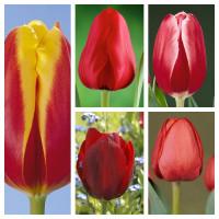 Комплект из 25 луковиц тюльпанов (Доу Джонс, Иль де Франс, Кунг-фу, Паллада, Севелла)