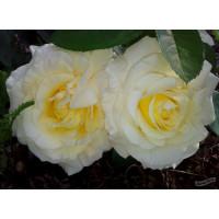 Роза Шопен (штамбовая)