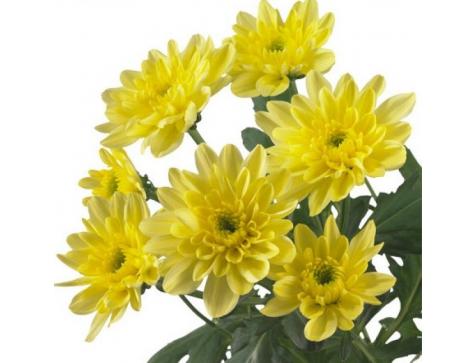Хризантема Балтика (Среднецветковая/Желтая)