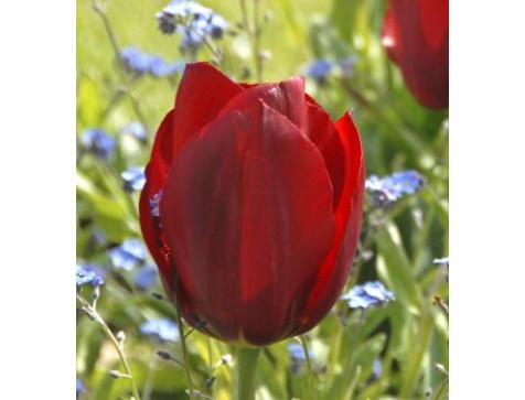 Тюльпан Паллада