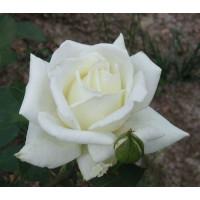 Роза Полярная Звезда-2(чайно-гибридная)
