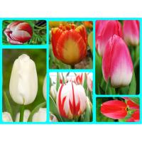 Комплект №2 из 10 луковиц тюльпанов