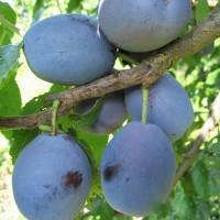 Слива Ника (Средняя/Фиолетовая)
