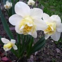 Нарцисс Попай (белый)