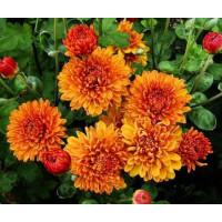 Хризантема Каштанка (Среднецветковая/Оранжевая)