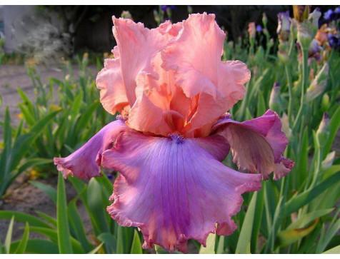 Ирис Прелестный розовый
