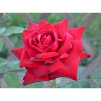 Роза Бургунд 81(чайно-гибридная)
