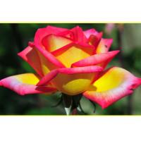 Роза Solidor - 2(чайно-гибридная)