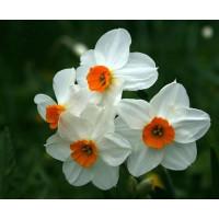 Нарцисс Гераниум (белый)