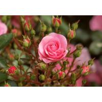 Роза Лидия (спрей)