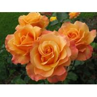 Роза Лолита(чайно-гибридная)