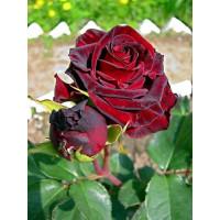 Роза Фиджи Негро(чайно-гибридная)