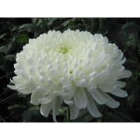 Хризантема Хрустальная Ваза (Крупноцветковая/Белая)