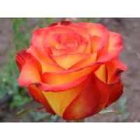 Роза Циркус(чайно-гибридная)