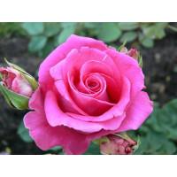 Роза Равель-2(чайно-гибридная)